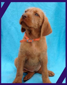 Picture courtesy of Vizsla Vizslas Smooth & Wirehaired