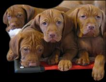 Picture courtesy of KaraJen Vizslas (Special Litters),  Cut Out By:  JCW