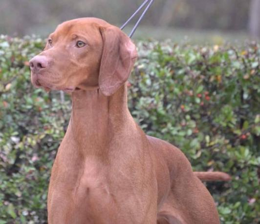 Vizsla Stud Dog Registry @ JCW, International - Ireland