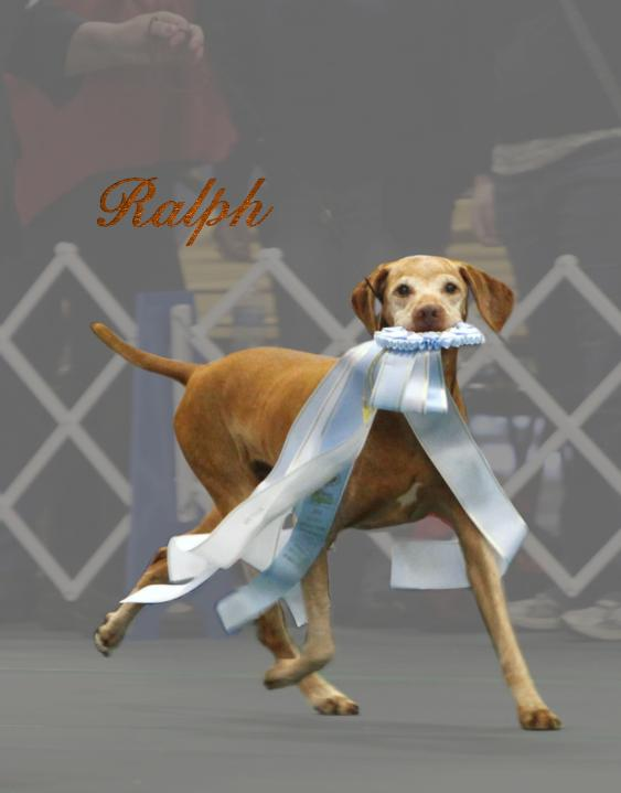 click here for BIS MBISS VBISS GCH JNEK's King Ralph JH, ROM (Ralph), Forever In Our Hearts!